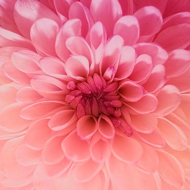 Chrysanthemum Beautiful Flowers Pretty Flowers Pink Flowers