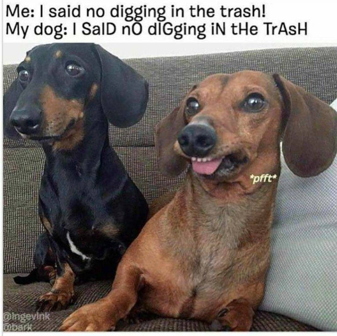 I Just Borrowed These Heckin Memes Totally Giving Them Back One Day Funny Dachshund Dachshund Memes Funny Dogs