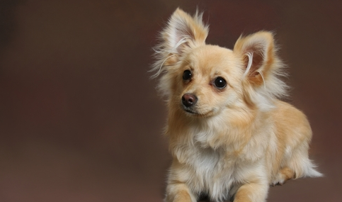 """10 Most Popular  Designer  Dog Breeds is part of Most Popular Designer Dog Breeds Iheartdogs Com - What's funny about the term """"designer"""" dog breeds is that these dogs are all just adorable (but trendy) mutts! Remember that shelters are full of adorable mutts desperately in need of homes  Adoption is the best option! 🙂 1   Cockapoo This pup is a cross between a Cocker Spaniel and a …"""