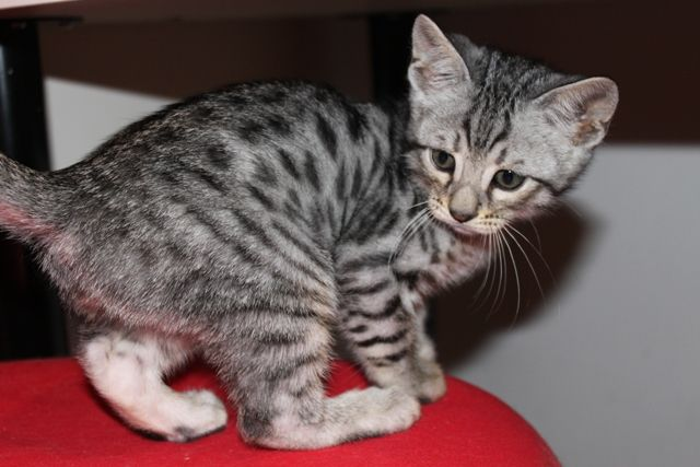 Image Detail For Bengal Kittens For Sale In Gloucestershire From Tribalgem