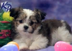 Shih Tzu Yorkie Mix Puppies Bing Images Puppies Biewer Yorkie Yorkie Shih Tzu Mix