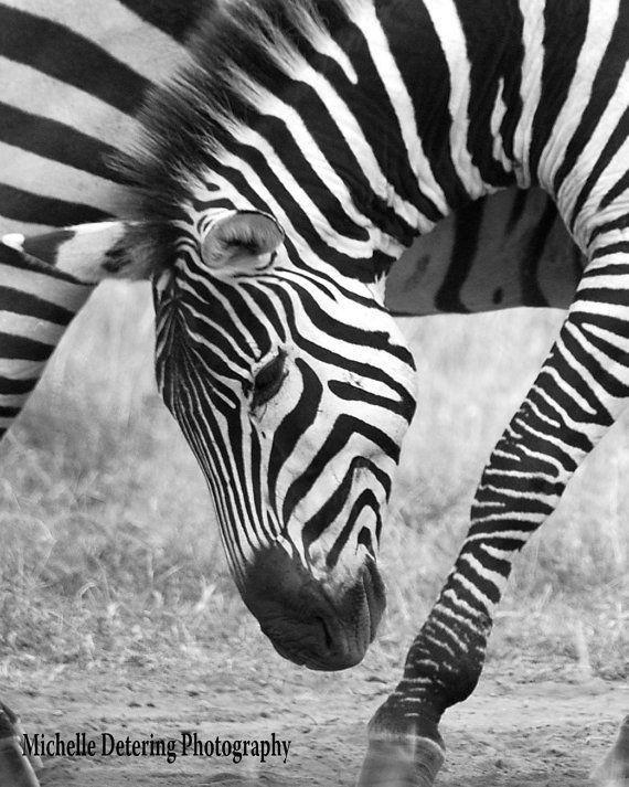 Zebra Pose - Zebra Photography