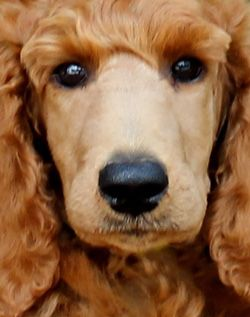 Apricot & Cream Standard Poodles & Poodle Puppies For Sale in PA
