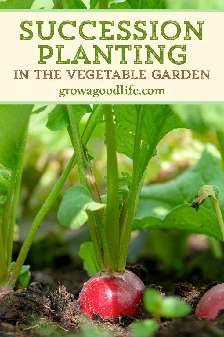 3 Succession Planting Tips to Maximize Your Harvest is part of Succession planting, Spring vegetable garden, Vegetable garden raised beds, Starting a vegetable garden, Vegetable garden, Garden companion planting - The goal of succession planting is to make the most of your garden space and keep the beds producing fresh harvests throughout the growing season