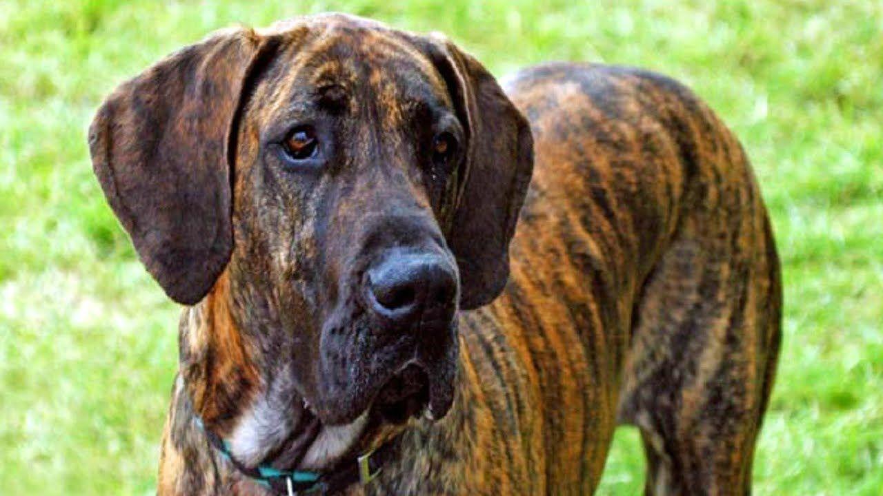 10 Funniest Great Dane Videos Youtube Dane Dog Great Dane