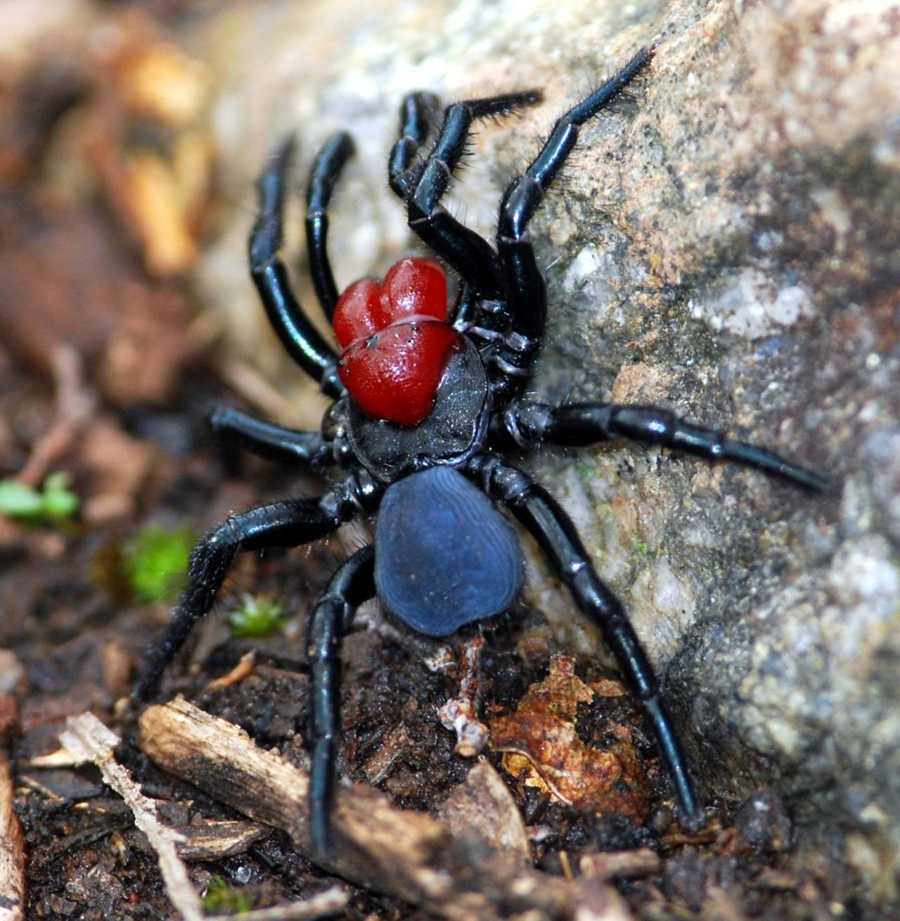 The Red Headed Mouse Spider Missulena Occatoria Is Found Almost