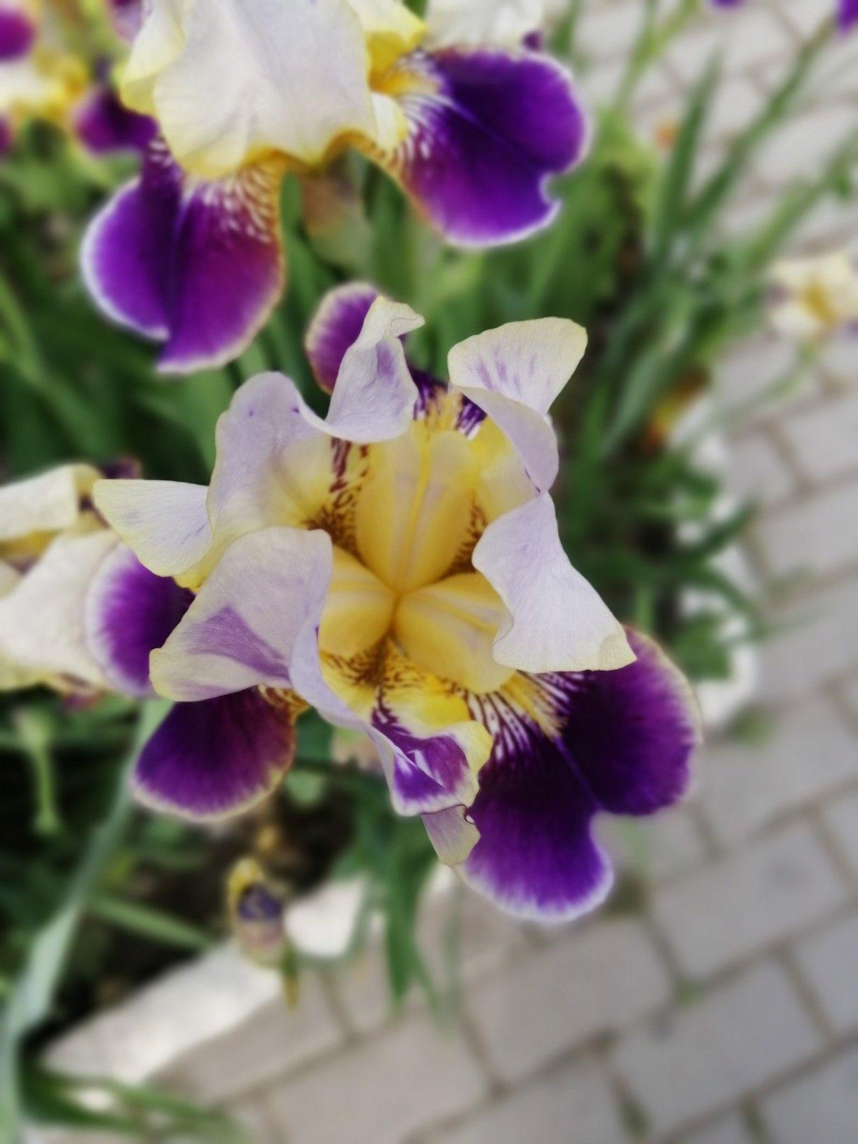 Yellow Purple Iris Massage Oil Oils Iris