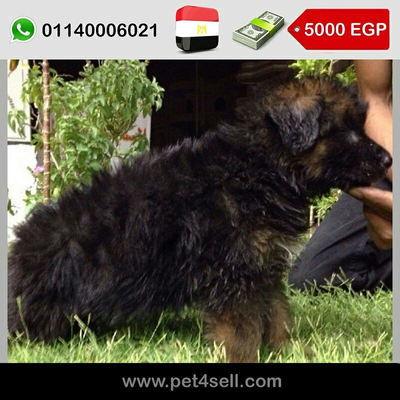 Egypt Cairo German Shepherd Puppies For Sale Age 35 Days