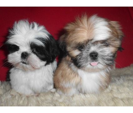 Dogs For Sale In Ashburn Virginia Shih Tzu Shih Tzu Puppy Cute Dogs And Puppies