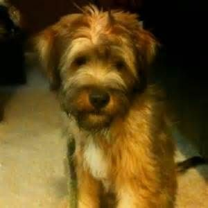 Most Border Terriers Are Seen Groomed With Short Hair But Longer