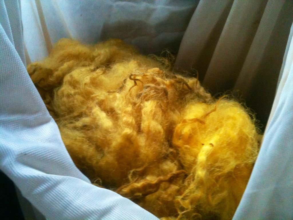 Natural Fleece dyed with turmeric, pre carding.