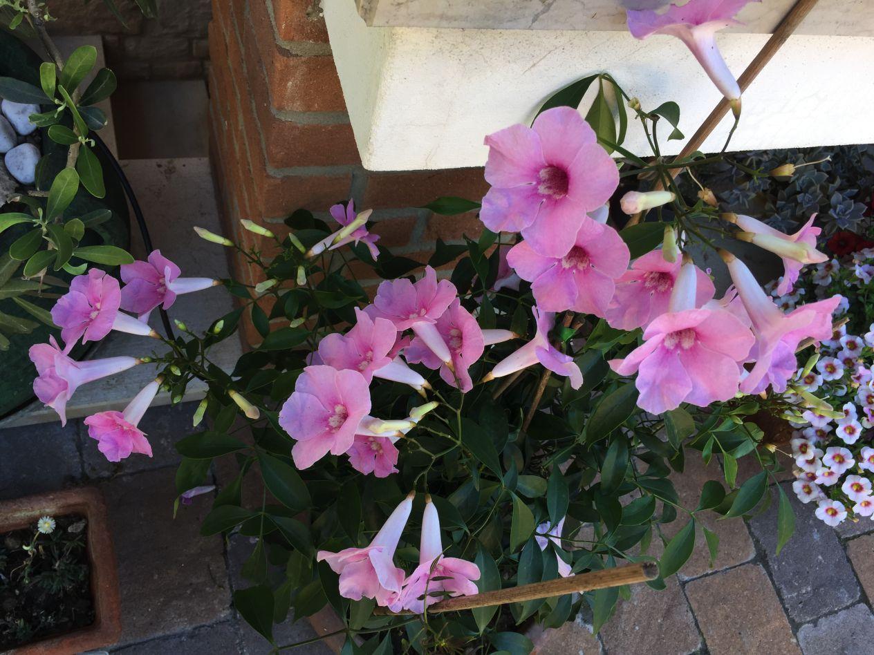 Rampicanti Che Crescono All Ombra pandorea pianta rampicante da fiore - fioritura generosa e
