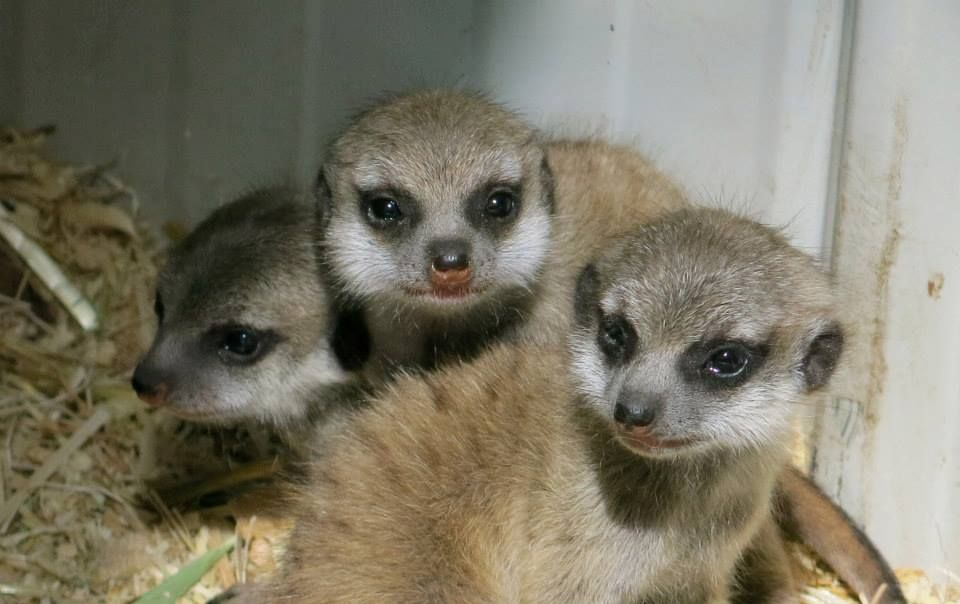 Back in June, staff at Calgary Zoo rushed to batten down the hatches during a flood. Their five meerkats were rescued from their damaged exhibit just in time. One week later, on June 28, one of the rescued female meerkats gave birth to five little cubs. Now at two months old, they are healthy and quite adventurous. See the full story at ZooBorns: http://www.zooborns.com/zooborns/2013/08/update-calgary-zoo-rebuilds-as-a-meerkat-family-grows.html