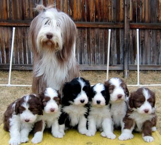 Mindy And Pups Bearded Collie Sheepadoodle Puppy Collie