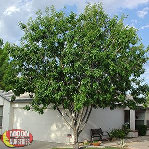 499 00 Fan Tex Ash Mc Loses It S Leaves About 1 Month Out Of The Yr Fraxinus Velutina Fan Tex Slightly Rounded Shade Trees Desert Landscaping Desert Shade