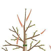 pfirsichbaum richtig schneiden garten pinterest baum obstb ume und obst. Black Bedroom Furniture Sets. Home Design Ideas