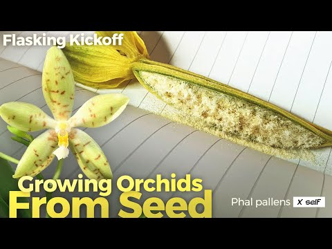 Growing Orchids From Seed (Video 1 of 3) - sowing dry seeds using hydrogen peroxide & a glovebox #growingorchids