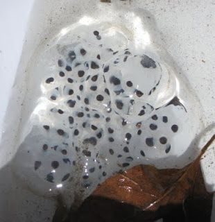 great nature blog!!! (Picture is blue-spotted salamander eggs)