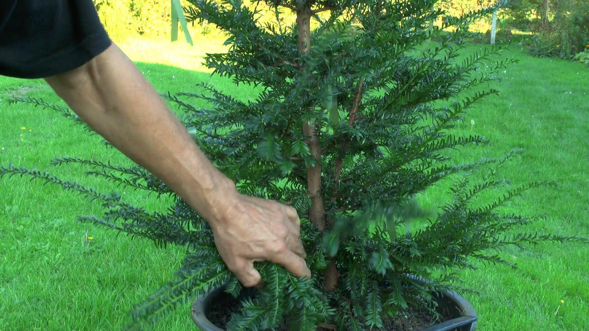 gartenbonsai taxus baccata eibe grundgestaltung taxus baccata bonsai