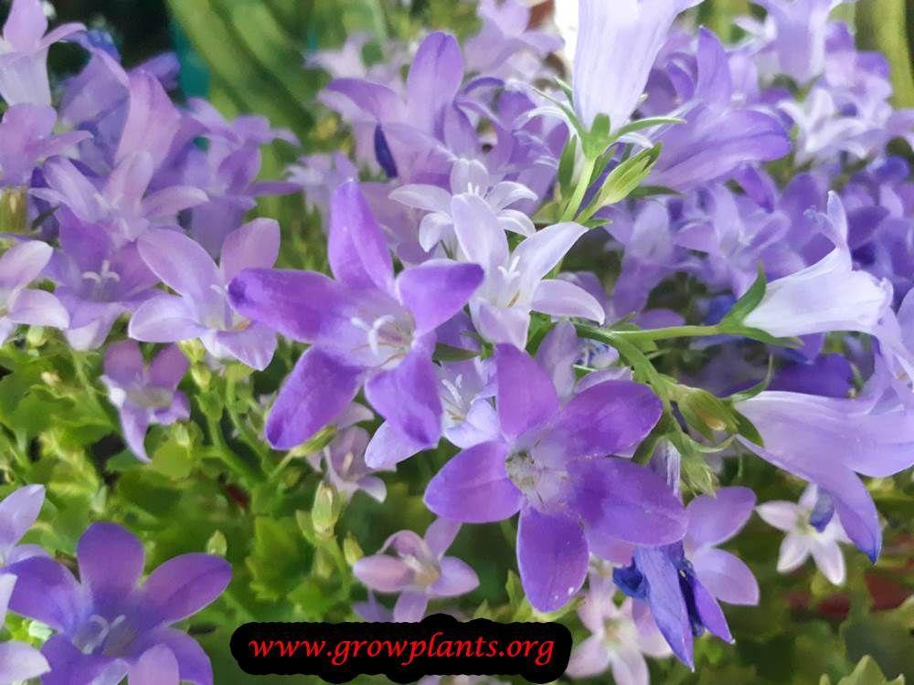 Campanula How To Grow Care Grow Bellflower Plant Plant Seedlings Plants Bellflower Plant