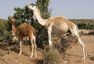 kameel dromedaris - Google zoeken