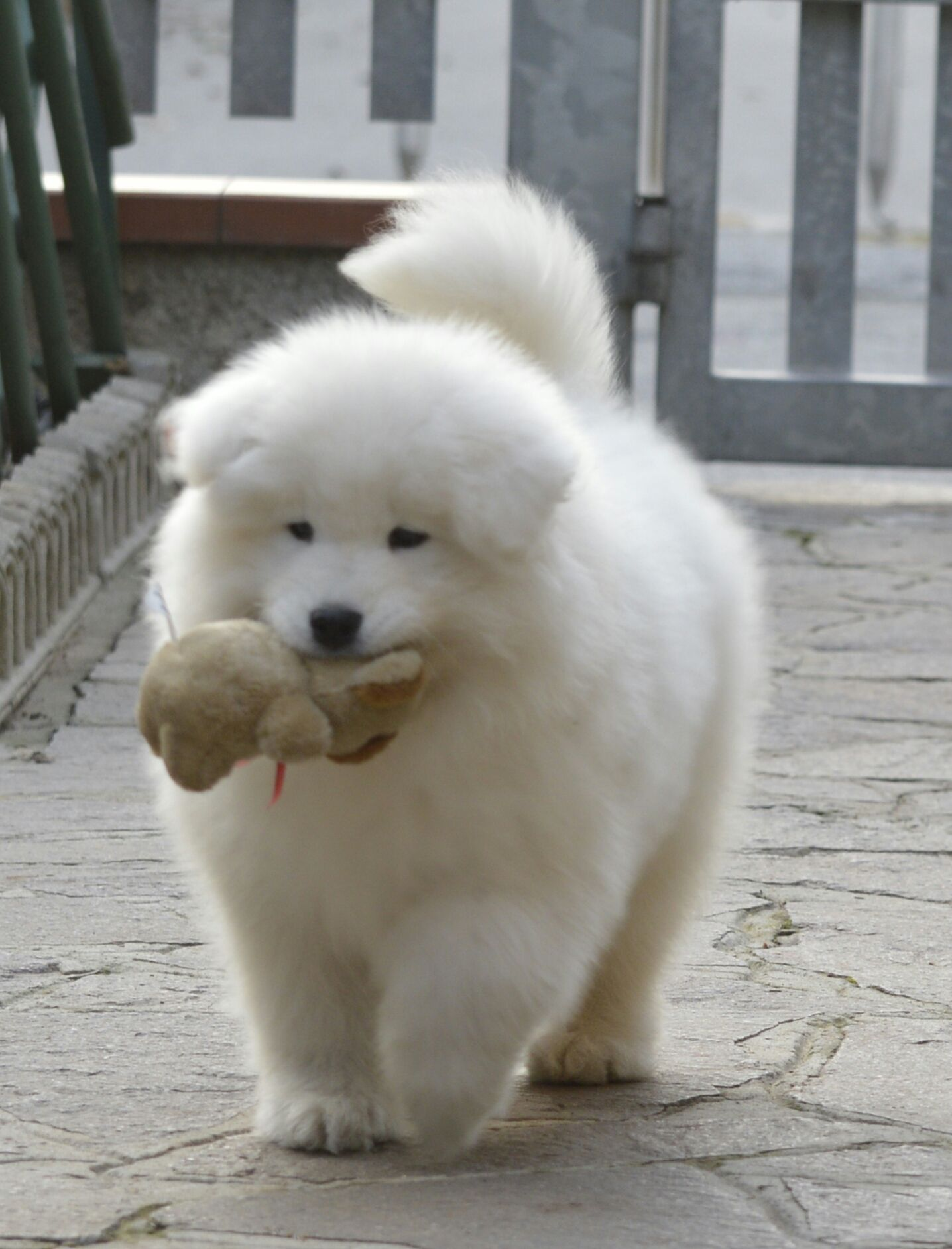 Amazing Samoyed Chubby Adorable Dog - 8eeaa9b8b6df6c62f2a0f9a14f43eed3  Best Photo Reference_105048  .jpg