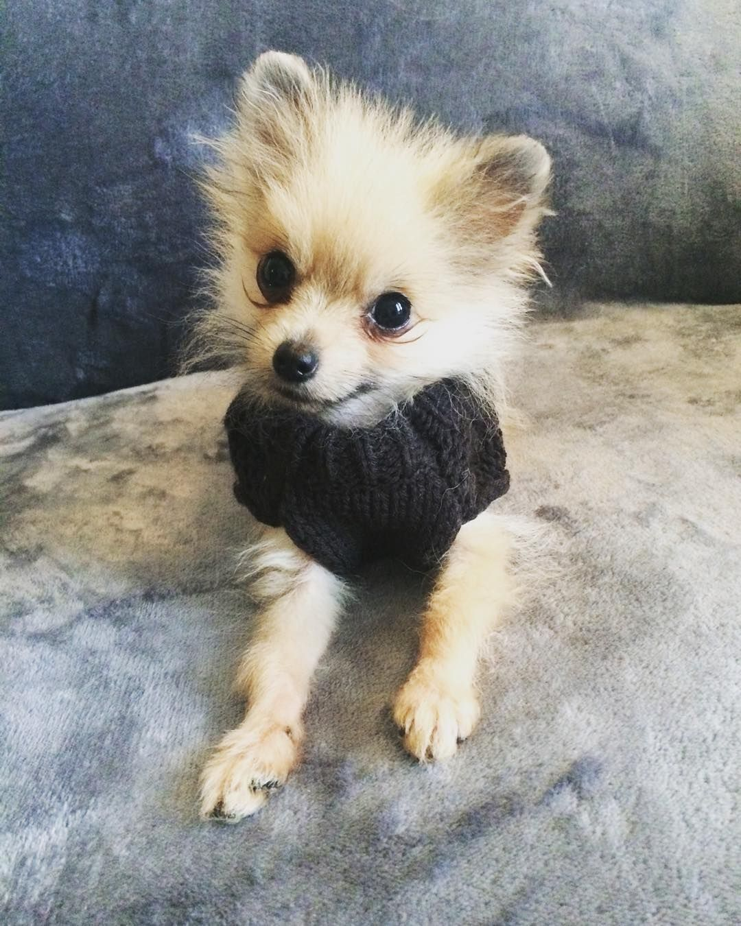 I just been to pets at home in my @sotnosdogwear jumper  they love me there. It's a bit chilly today  don't forget my special followers can get 10% off sotnos Dogwear if you use code 'THREELITTLEPOMS10'  I wonder if it will snow this Christmas  by threelittlepoms