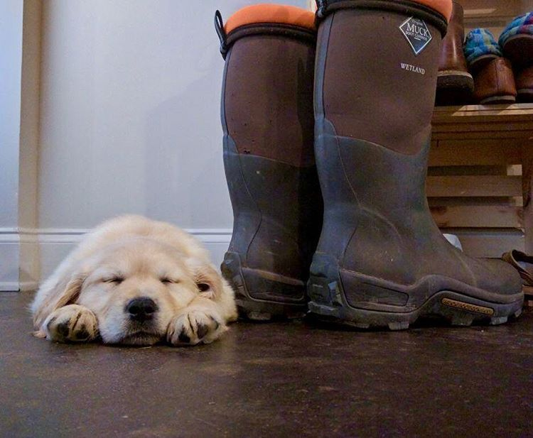 Camp the Golden Retriever puppy napsohard goldenpuppy