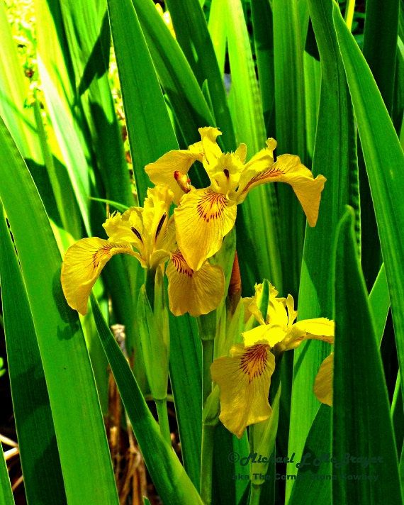 Nature Photography, Flower Photo, Yellow Flag Iris, Wall Decor, Home ...
