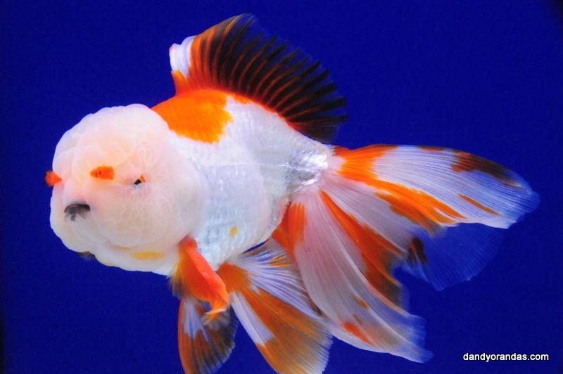 Red White Pompom Oranda Dandyorandas Com Ryukin Goldfish Goldfish Goldfish Tank