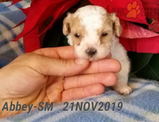 Abbey Maltipoo Puppy for Sale in Hopkinsville, KY
