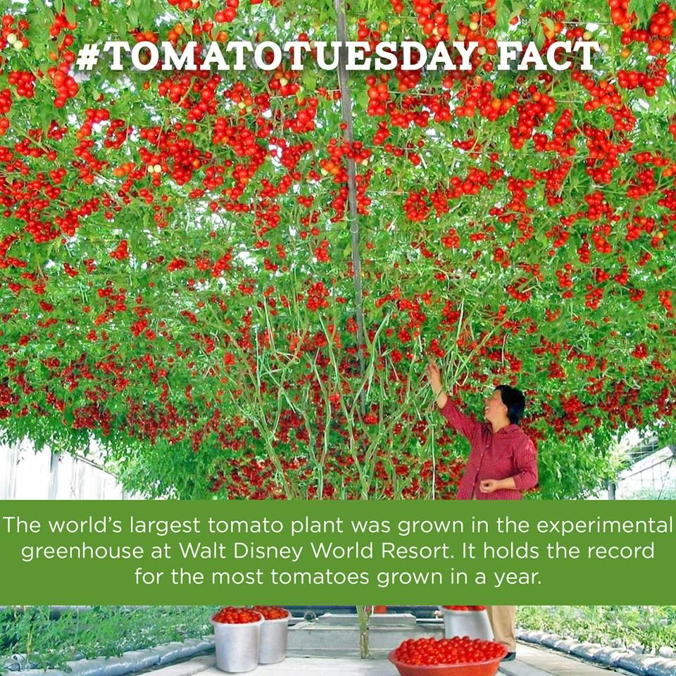 Here S A Fun Tomato Fact The World Largest Plant Was Grown In Experimental Greenhouse At Walt Disney Resort