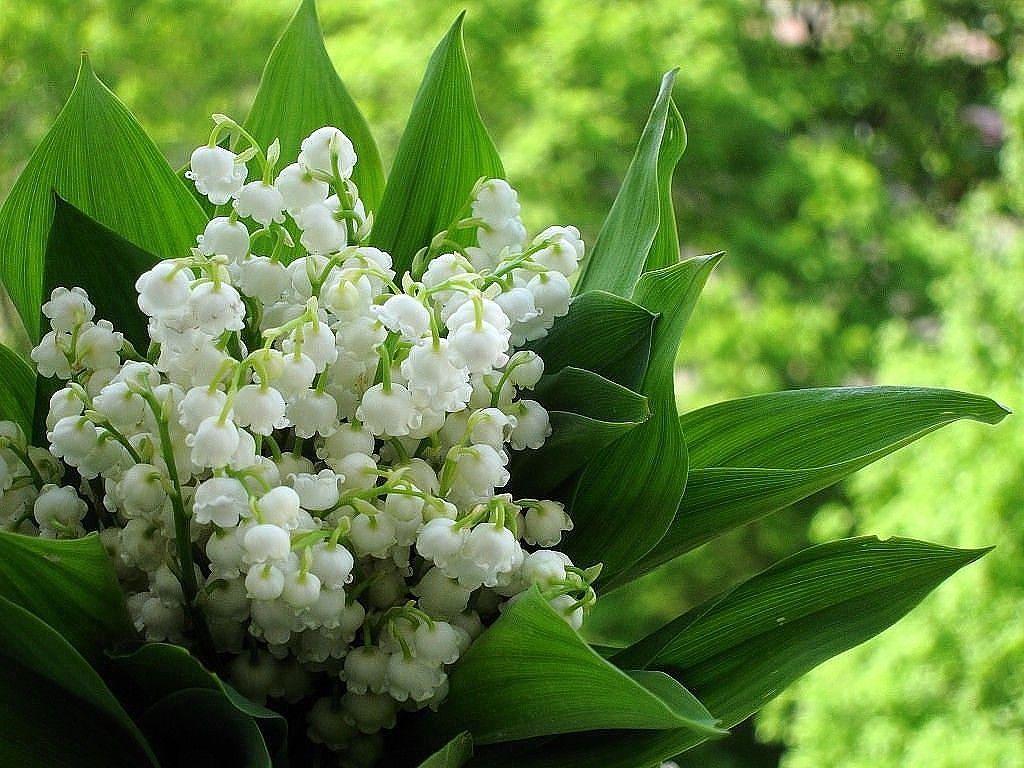 Обои ландыши, елые, цветы. Цветы foto 14