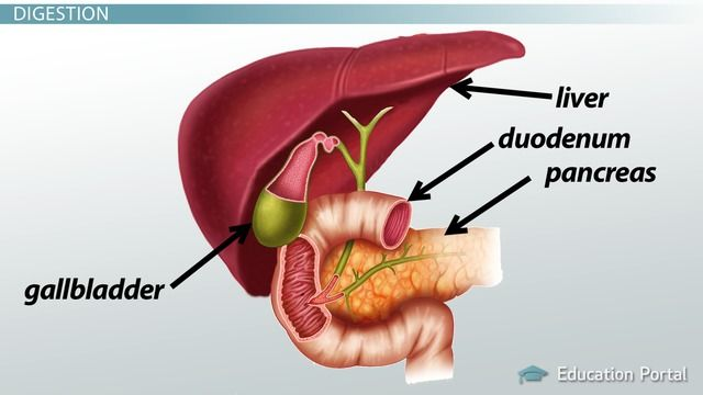 Bile is produced by the liver and stored in the gallbladder. In this ...