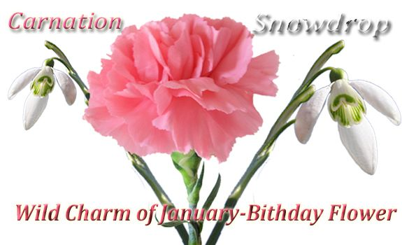 January S Birth Flower The Carnation Comes In Several Different Colors To Convey Different Meanings Much Li Pink Carnations January Birth Flowers Carnations