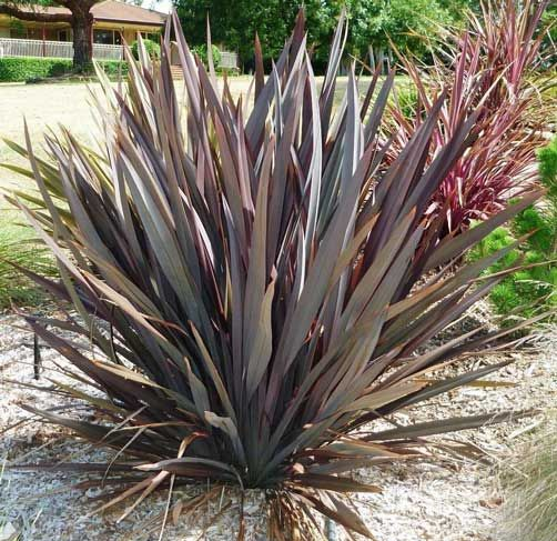 Seeds From My New Zealand Flax Or Phormium Tenax Purpureum This Attractive Fan Shaped Plant Has Clumps Ornamental Grasses Desert Landscaping Landscape Design