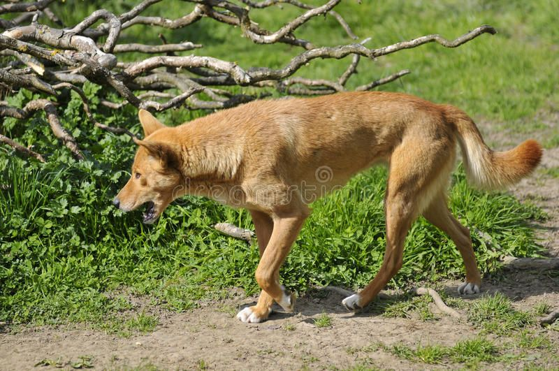Dingo Walking The Mouth Open Dingo Canis Lupus Dingo Walking The Mouth Open Spon Mouth Walking Dingo Open Dingo Ad