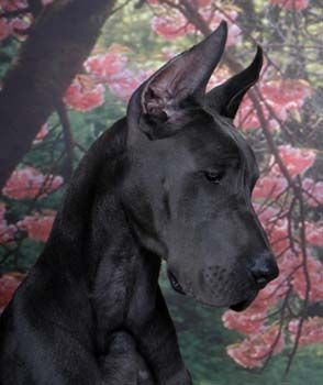 Portrait I Ll Never Grow Up Black Great Danes Dogs Mantle