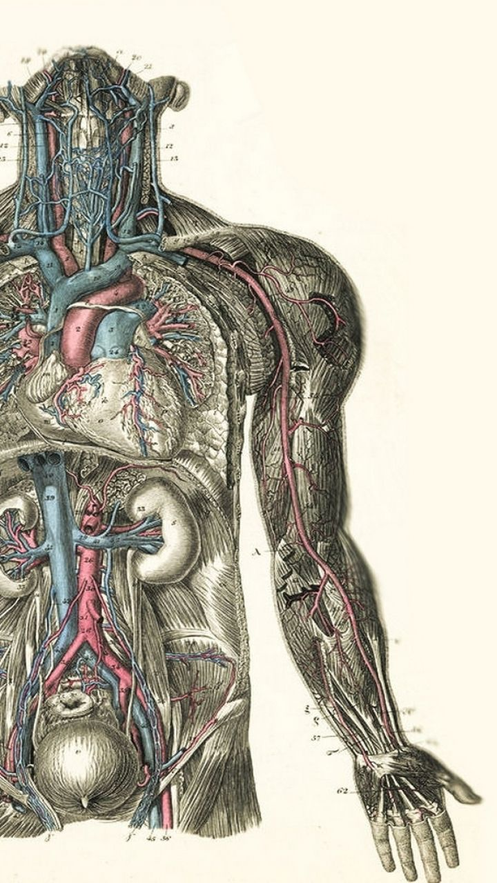 Anatomy Hd Wallpapers Backgrounds Wallpaper Anatomy Art Anatomy For Artists Anatomical Heart Drawing