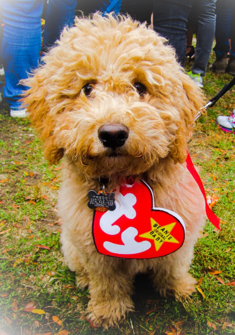 A Real Beanie Baby my goldendoodle on Halloween Cute
