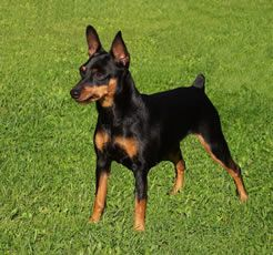Black And Tan Miniature Pinscher Chloe Looked Like This Before