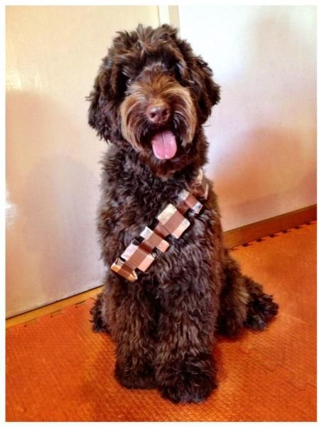 Chewie The Labradoodle As Chewie The Wookiee Labradoodle