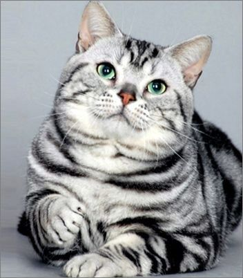 Life Expactancy In American Shorthair American Shorthair Cat