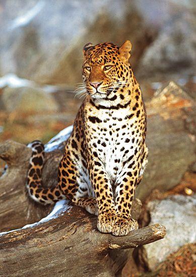 Amur Leopard With Images Amur Leopard Wild Cats Big Cats
