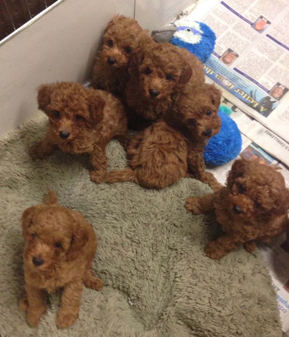 Red Teddy Bear Litter Of Poodles West Coast Poodles Mini Poodle Puppy Poodle Puppy Puppy Litter