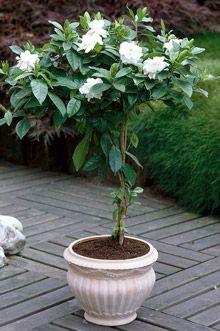 Double Blooming Gardenia Tree Plants Gardenia Trees Patio Trees
