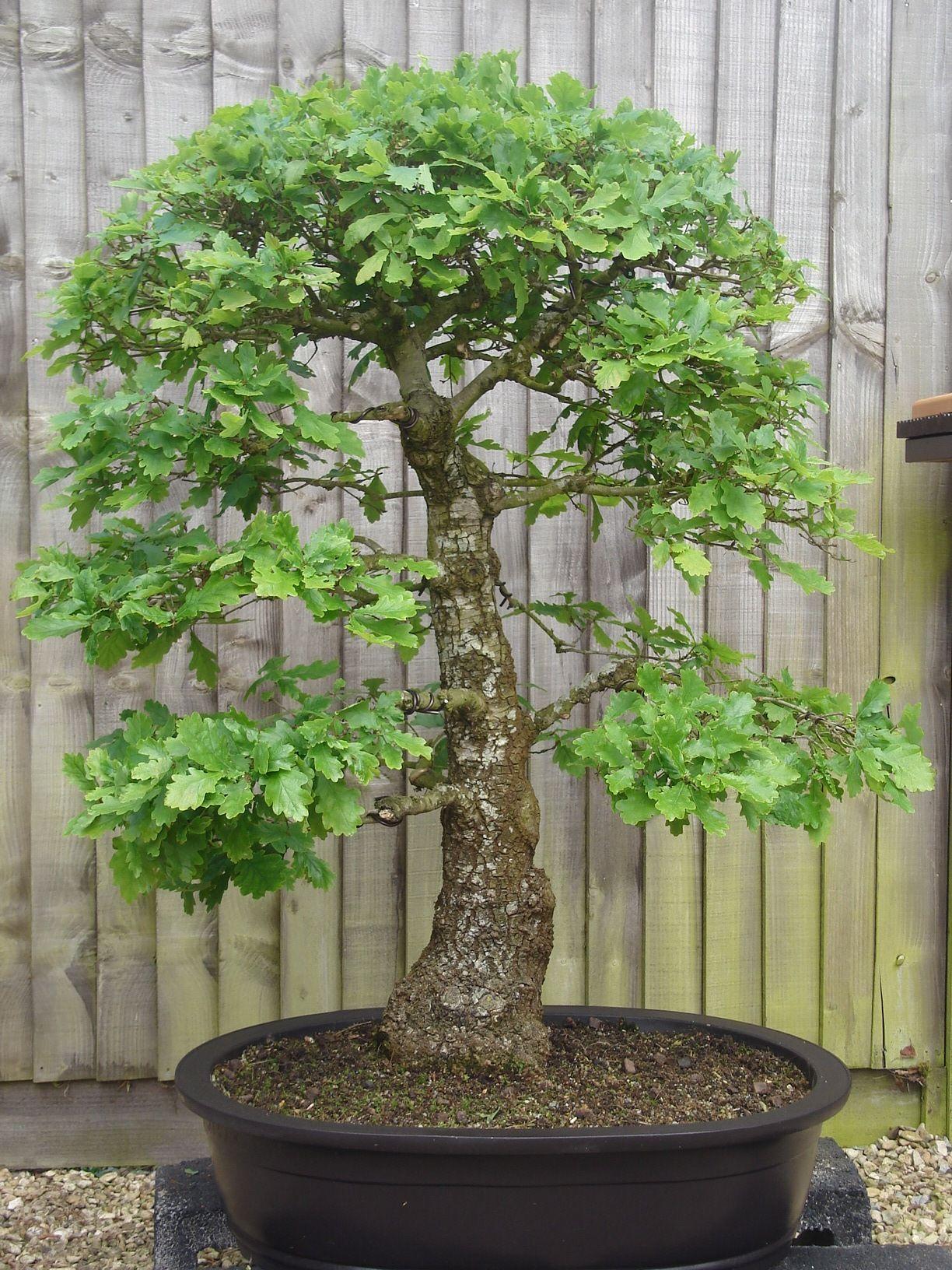 oak bonsai bonsai pinterest bonsai baum und baum. Black Bedroom Furniture Sets. Home Design Ideas