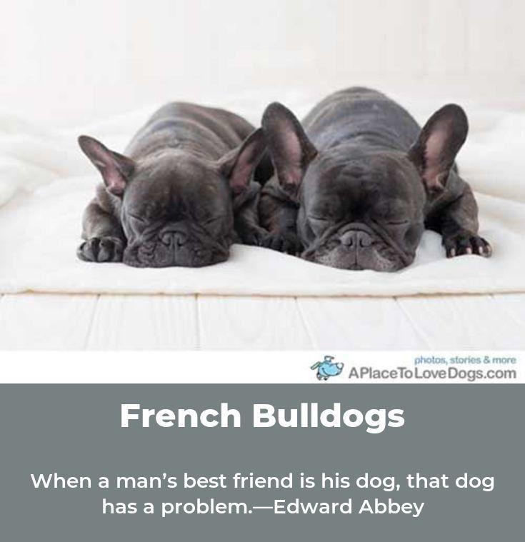 Pin By Angela Newman On Chester French Bulldog French Bulldog