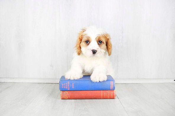 Puppies For Sale Columbus Ohio Sunrise Pups Small Breed Puppies Puppies For Sale Maltipoo Puppy Puppies