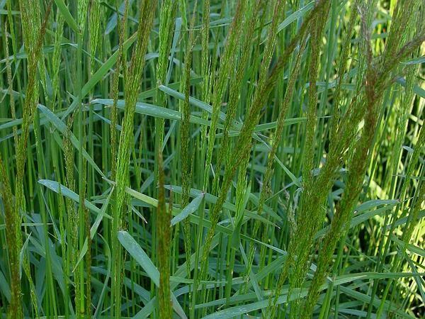 Agrostis Gigantea (B)
